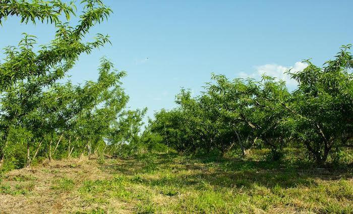 long row of peach trees