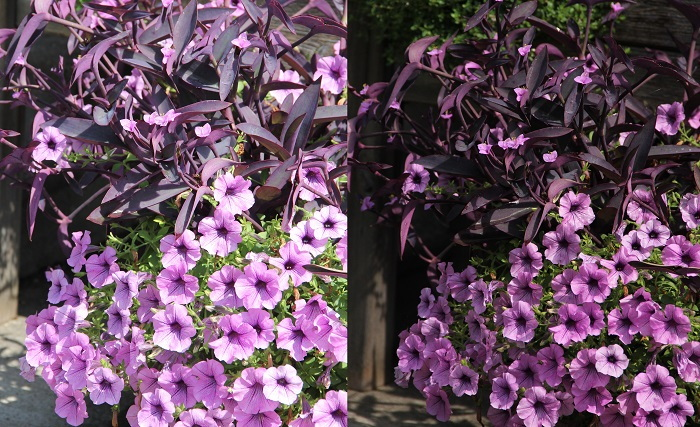 purple petunias and leaves in different light