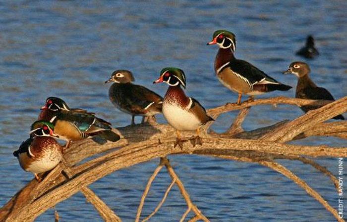 wood ducks sitting on a log