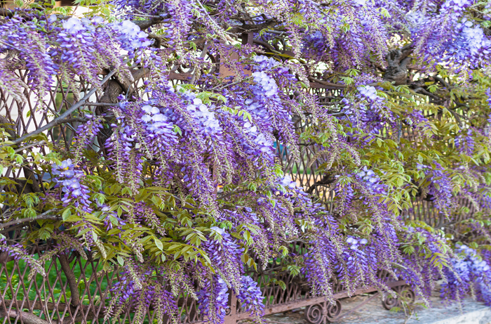 Purple wisteria plant growing over metal fencing