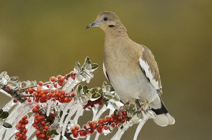 dove on frozen yaupon plant