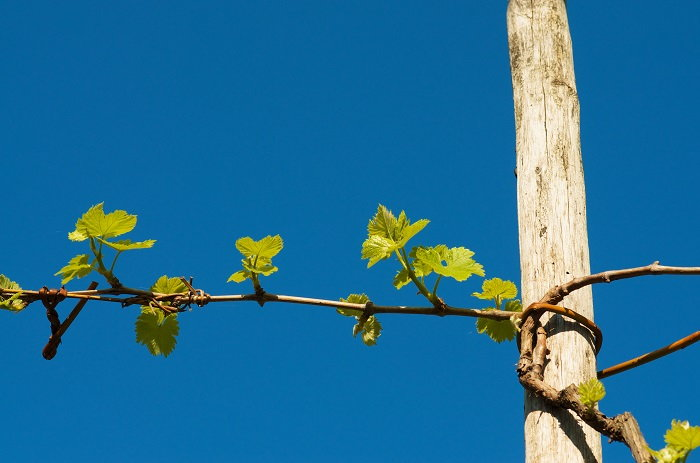 grape vine growing on a stake