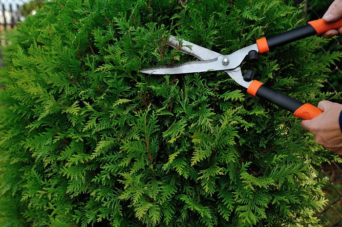 Green Bush Being Cut by Shears