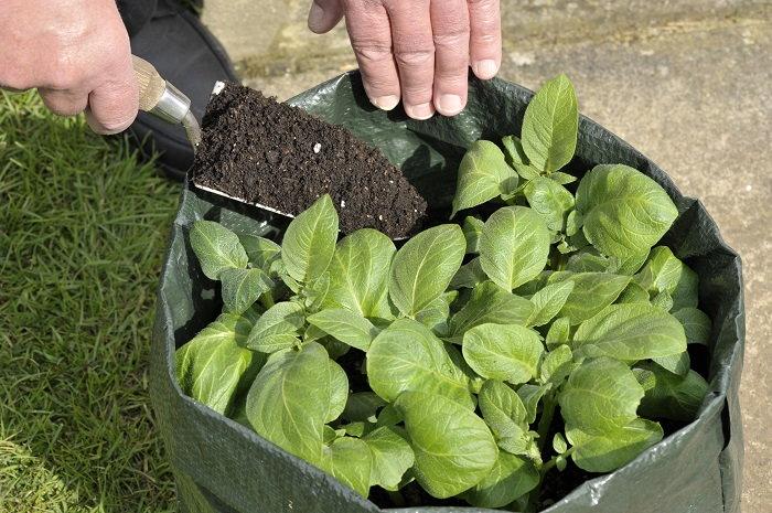 Growing Potatoes In Bags Dave S Garden