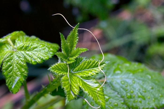 long nematode on a rubus fruticosus plant
