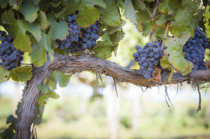 Pruning And Maintaining Your Grape Vines Dave S Garden