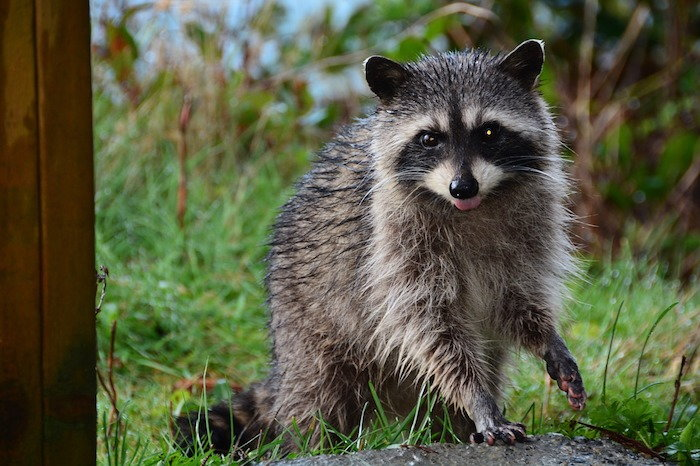 raccoon in a garden