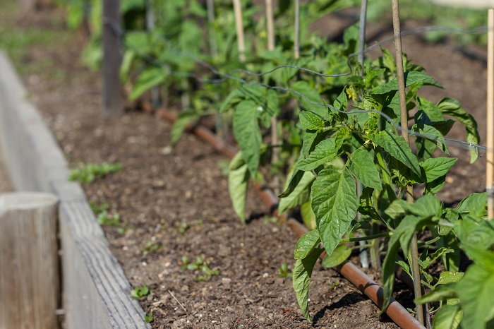 drip irrigation system in a raised bed
