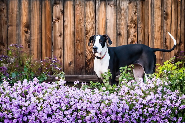 let your dog out into the garden to keep deer away