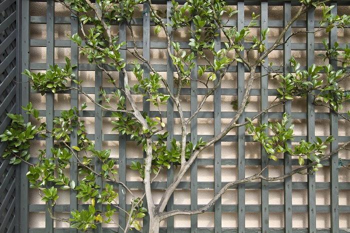 espalier tree growing along a trellis