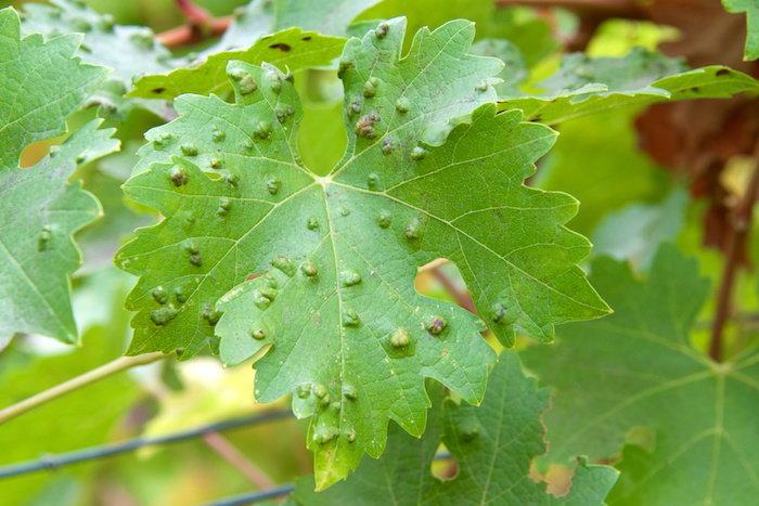 leaf galls on a grape leaf