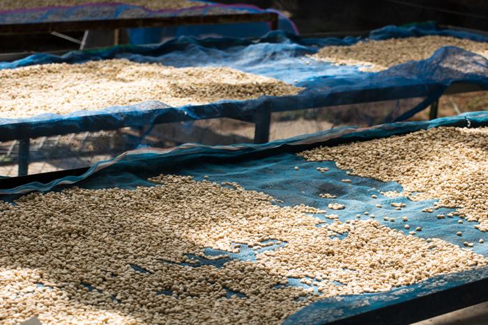 Beans drying on large racks