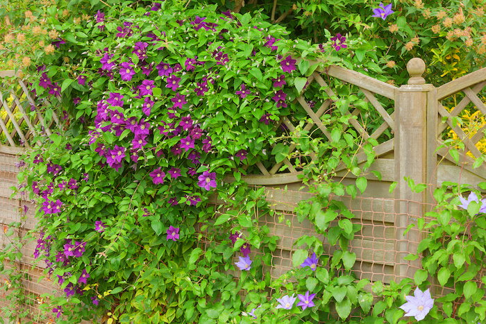 Clematis vine with purple flowers growing over a wooden fence