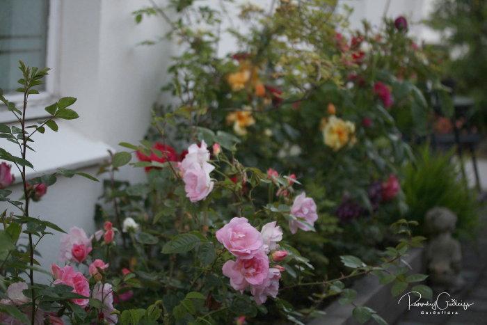 roses in an icelandic garden
