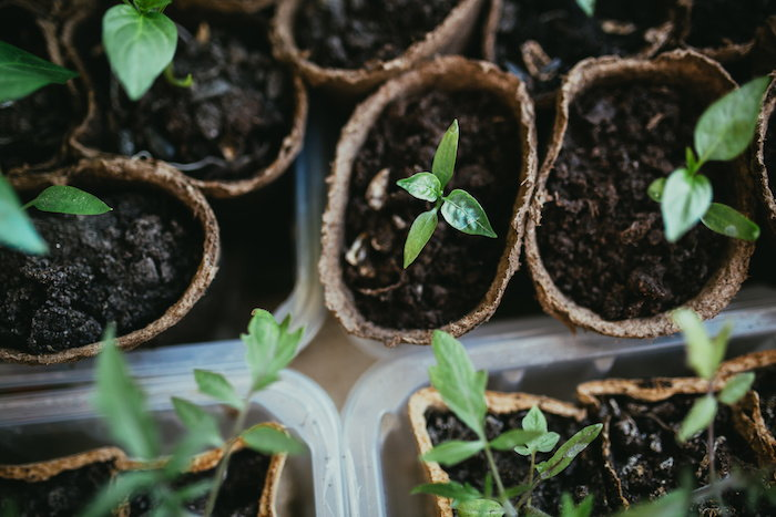 several seedlings in biodegradable containers
