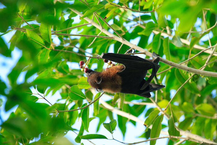 bats make great pollinators
