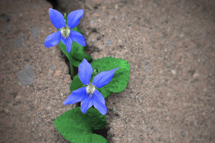 Blue flowers growing through asphalt