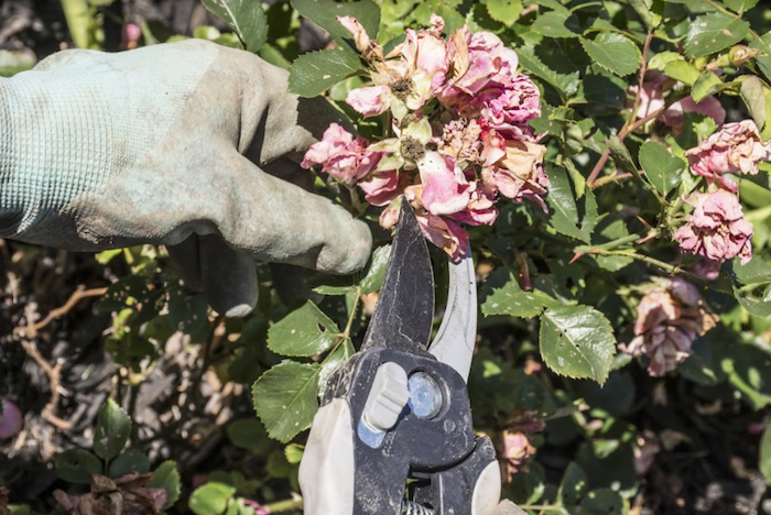 removing dead flowers