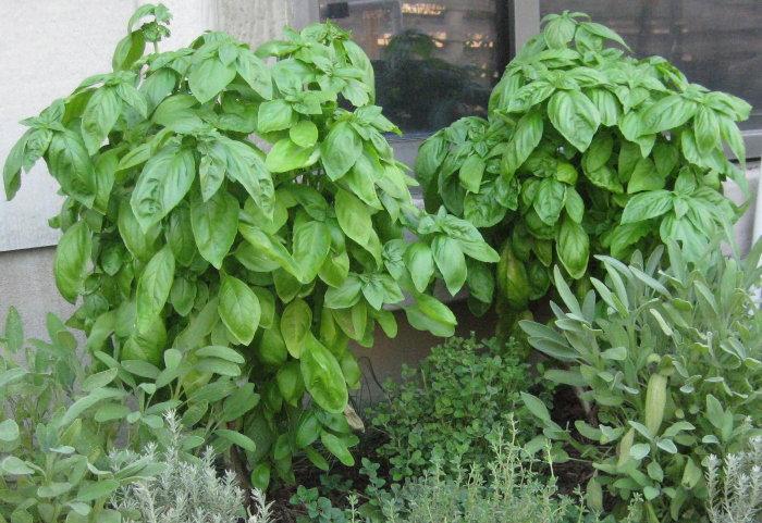 sweet basil plants