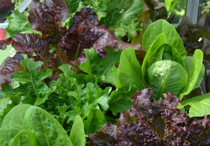 baby lettuce and spinach