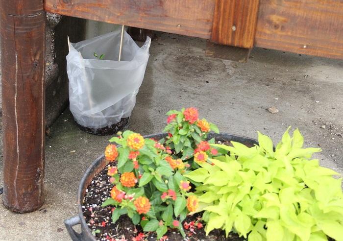 cuttings under planter