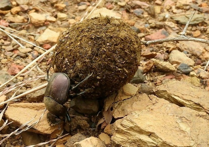 dung beetle rolling ball of dung