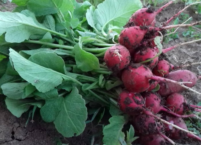 Fresh radishes covered with dirt from my garden