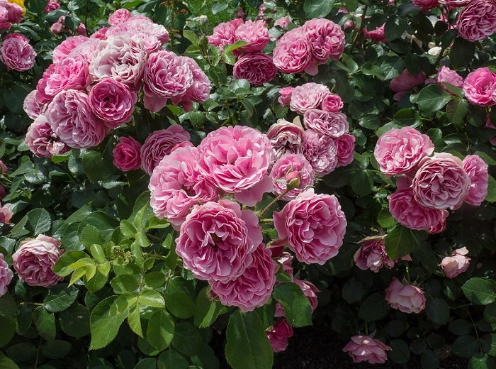 perennial rose bush