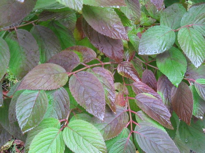 Doublefile viburnum in fall