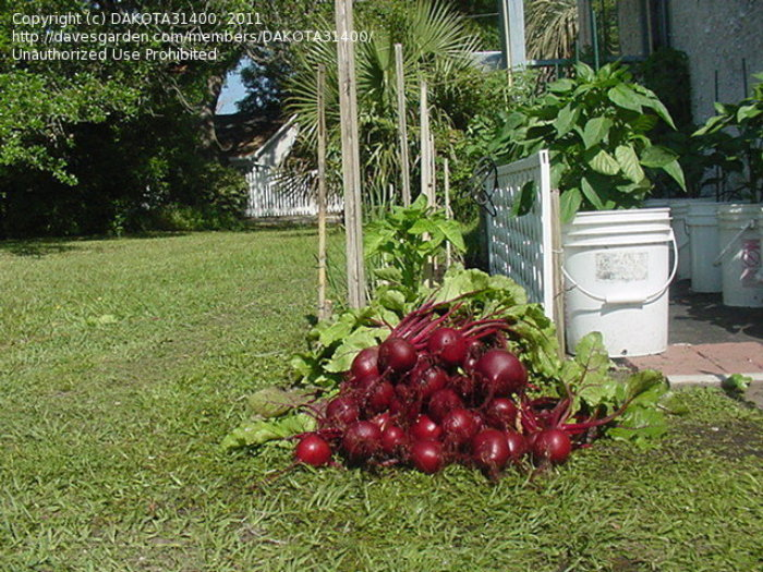 fresh harvested beets