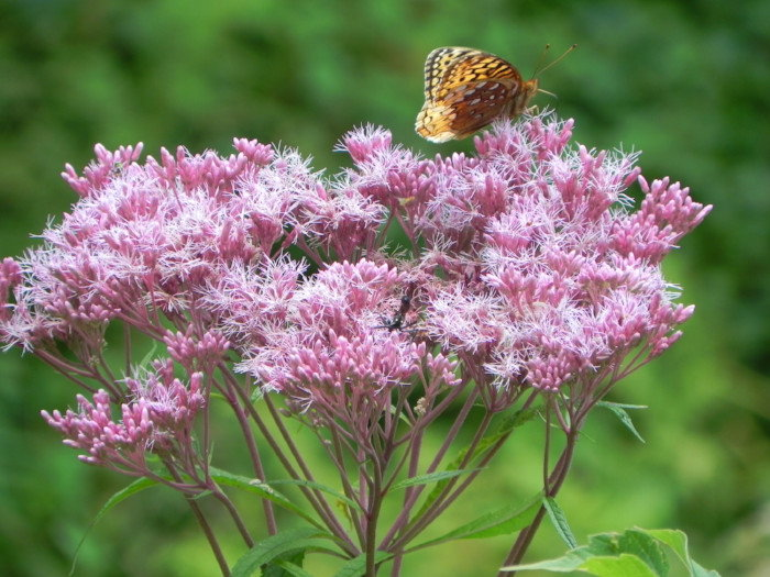 butterfly nectaring on joe pye weed