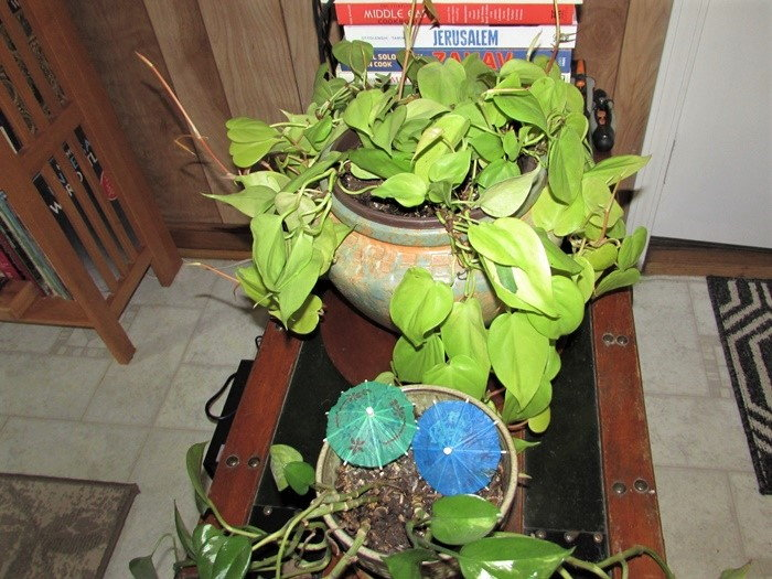 philodendron in a pot