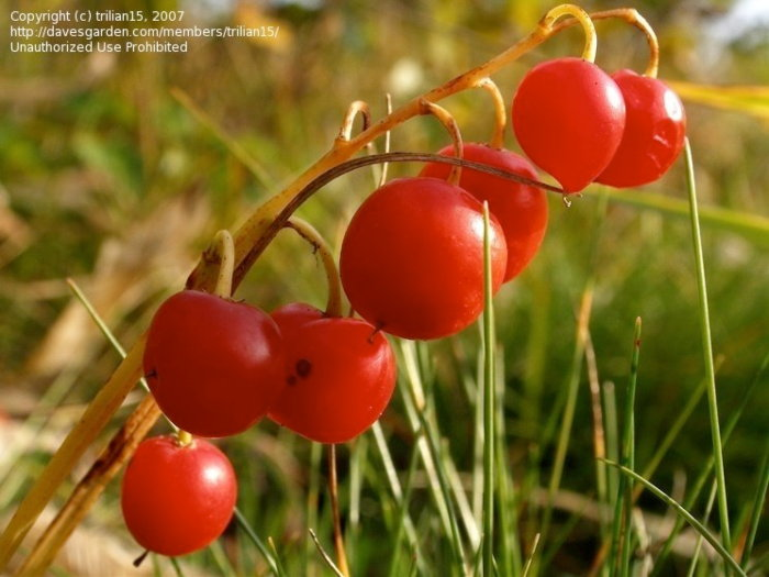 red lily of the valley berries