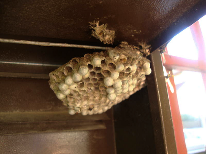 Wasp nest with eggs inside my mail box
