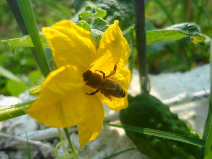 A bee in a yellow cuke flower