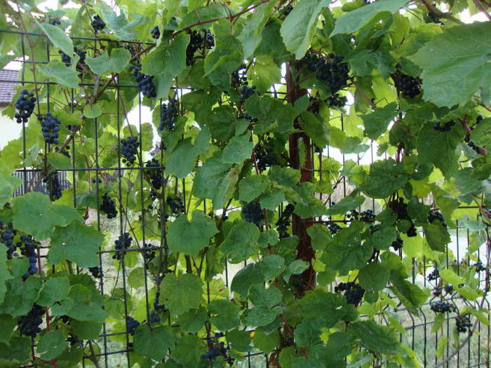 Grapevine with black grapes on my fence