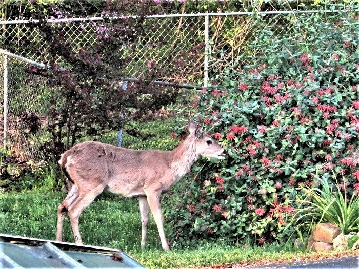deer eating honeysuckle