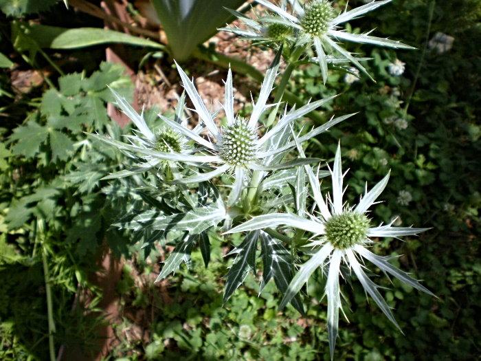 silver-white plants