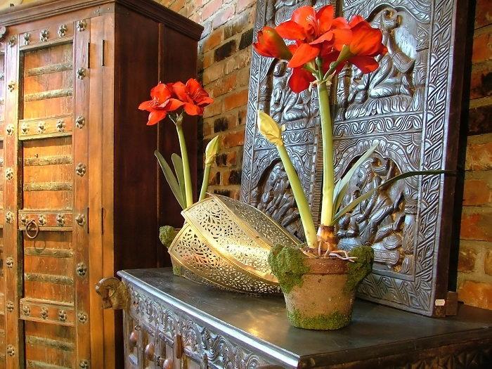 amaryllis flowers indoors