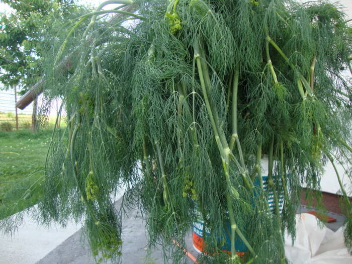 Huge bunch of tall dill plants in the bucket
