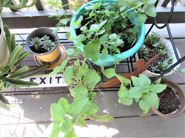 lemon balm in a container