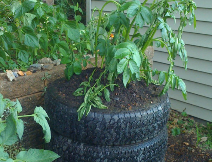 old tires used as planters