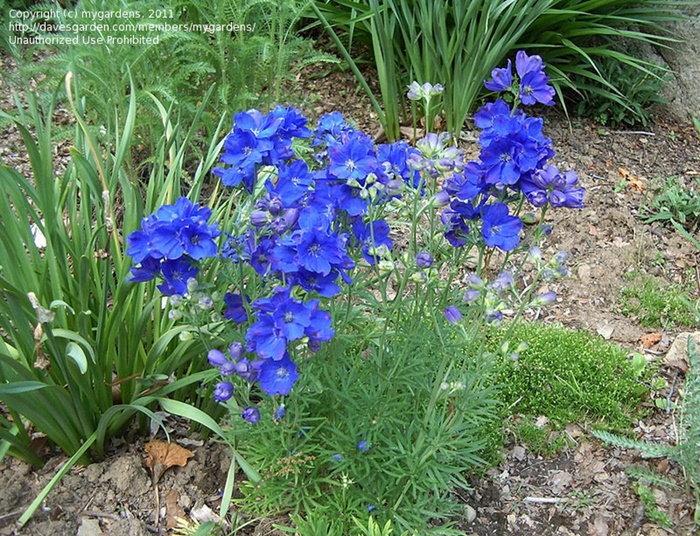 blue larkspur in the garden
