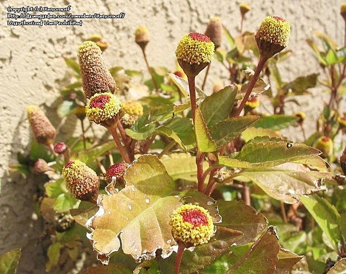 toothache plant in bloom