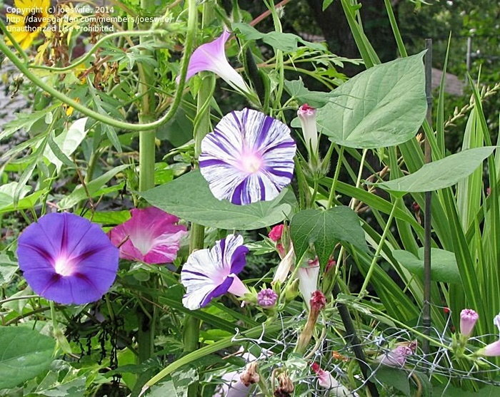multi-colored morning glories