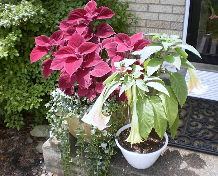 colorful container with red coleus