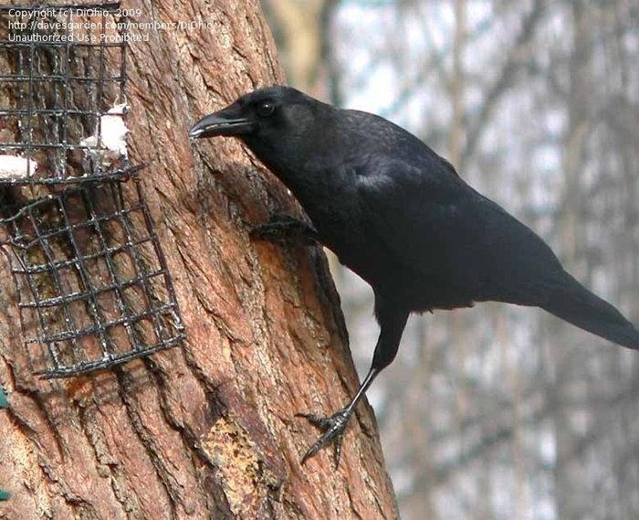 crow at a suet feeder