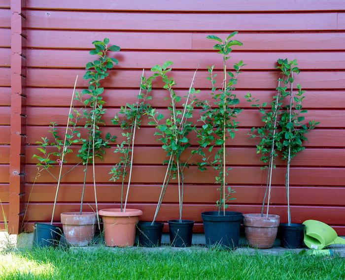apple tree saplings