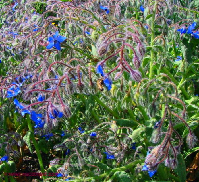 borage blooms