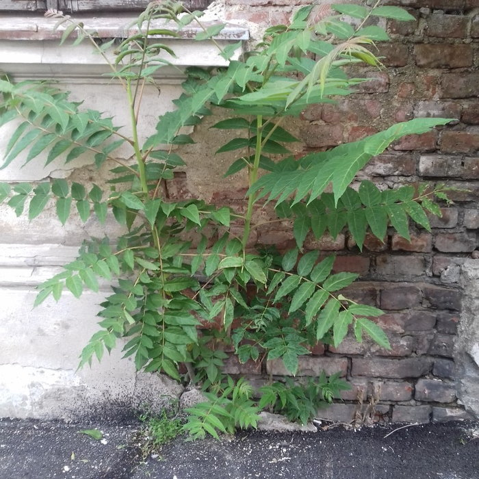 Tree of heaven seedling growing in a crack of the house wall
